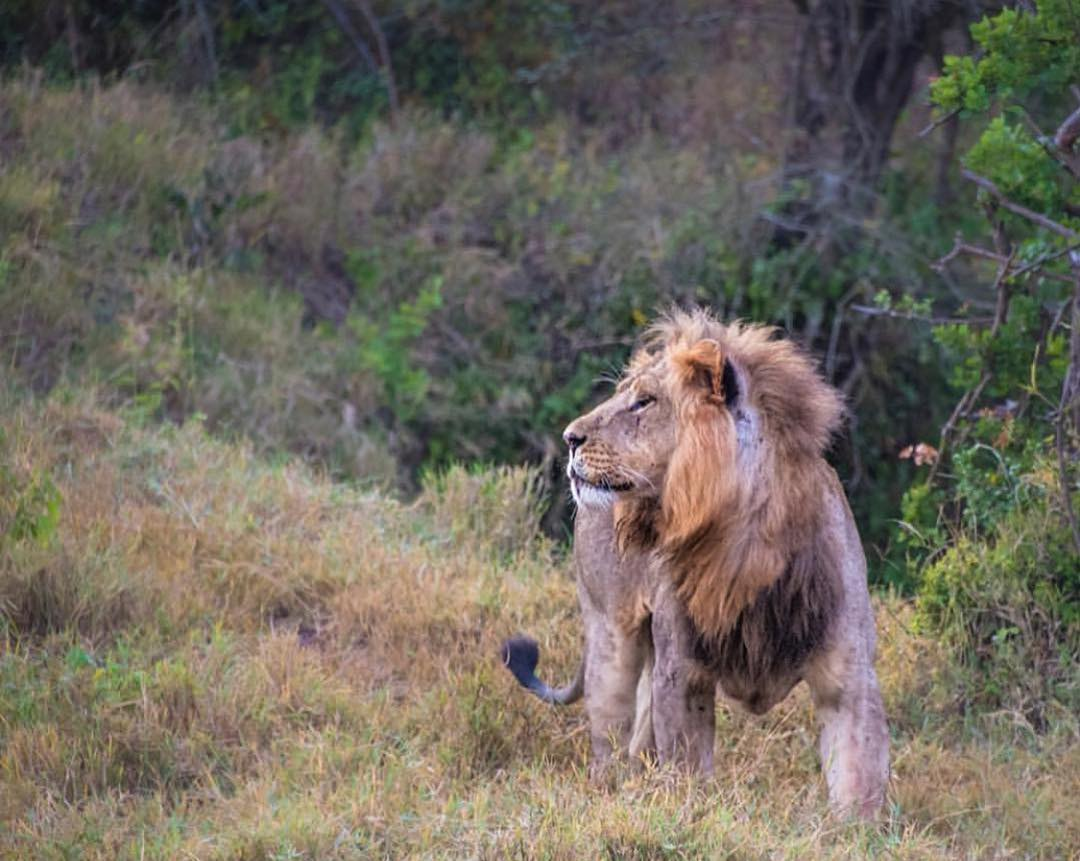 Leonardo DiCaprio Instagram:    Lions today face threats such as human wildlife conflict, habitat loss, and l...