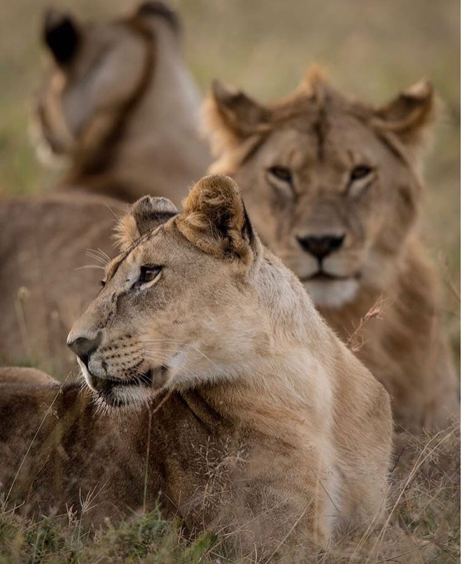Leonardo DiCaprio Instagram:    Why does the world need lions? Here are two simple reasons: 1) Lions play a c...