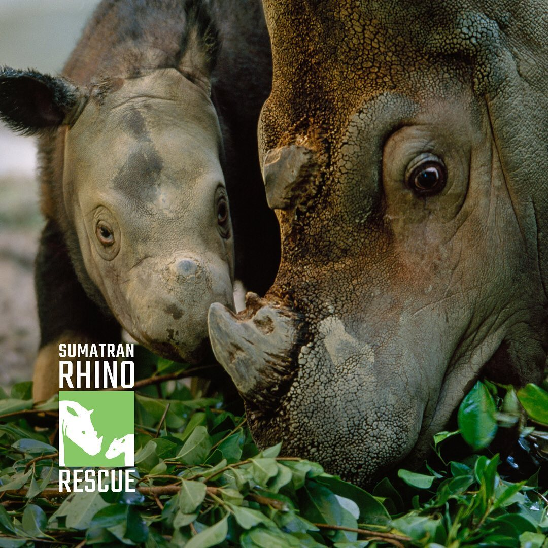 Leonardo DiCaprio Instagram: Today, on  learn how you can help protect the Sumatran rhino. Only 80 are left i...