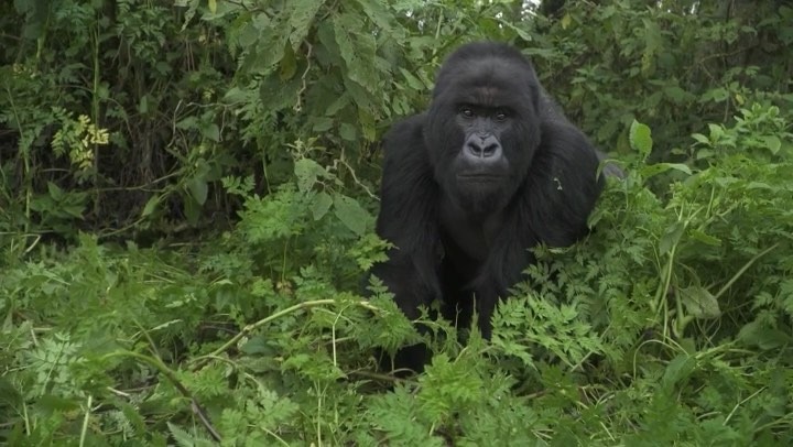 Leonardo DiCaprio Instagram:    How do you help endangered gorillas? With lots of human help.  The Associated...